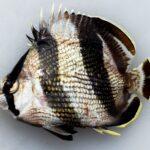 Chaetodon striatus