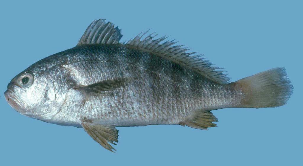 Larimus fasciatus