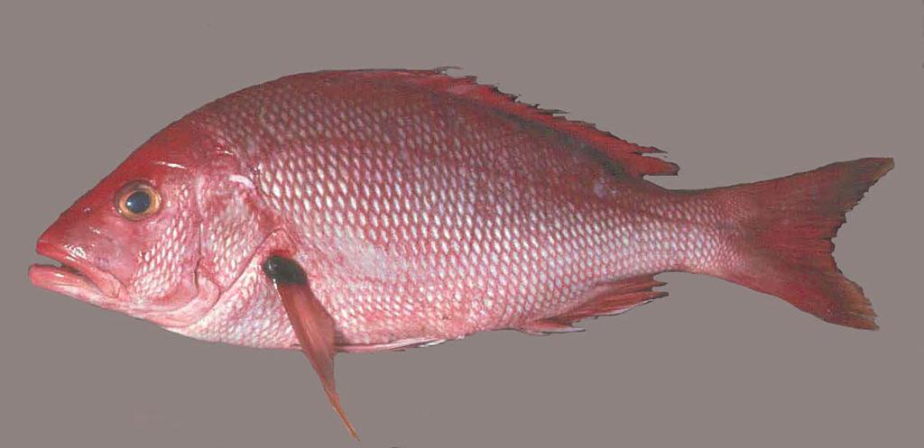 Lutjanus buccanella