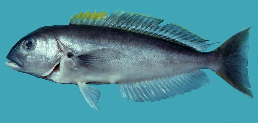 Caulolatilus cyanops