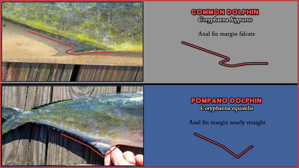 Coryphaena Anal Fin Comparison