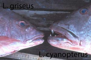 Lutjanus cyanopterus - Lutjanus griseus