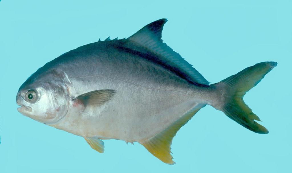 Trachinotus carolinus