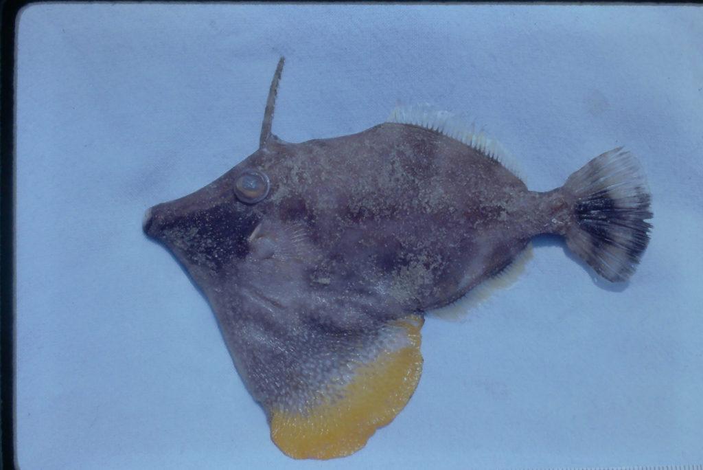 Monacanthus ciliatus