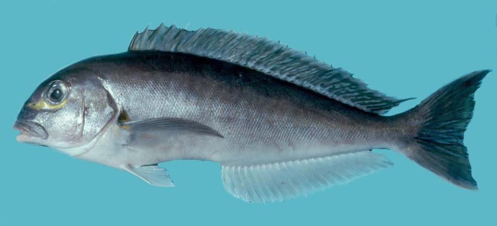 Caulolatilus chrysops