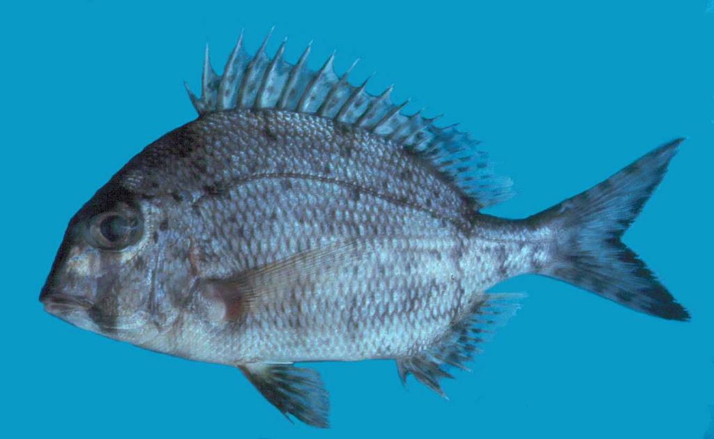 Calamus leucosteus