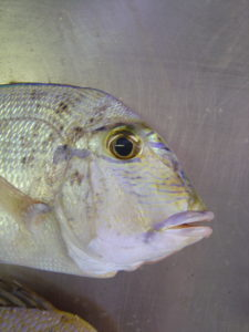 Littlehead Porgy - Calamus proridens