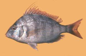 Stenotomus caprinus
