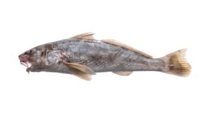 Menticirrhus americanus