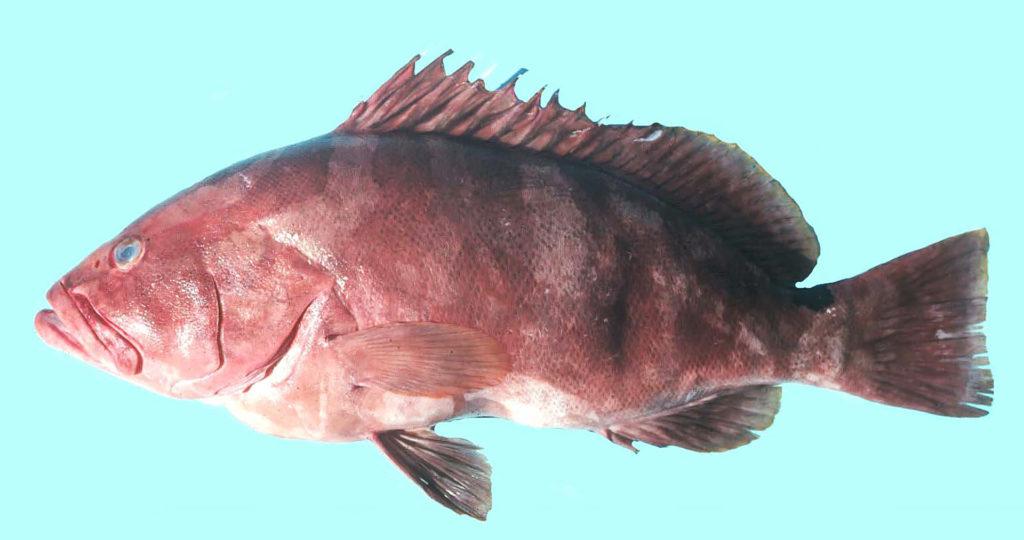 Epinephelus striatus
