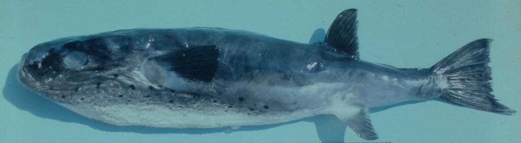 Lagocephalus lagocephalus