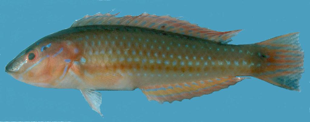 Halichoeres caudalis