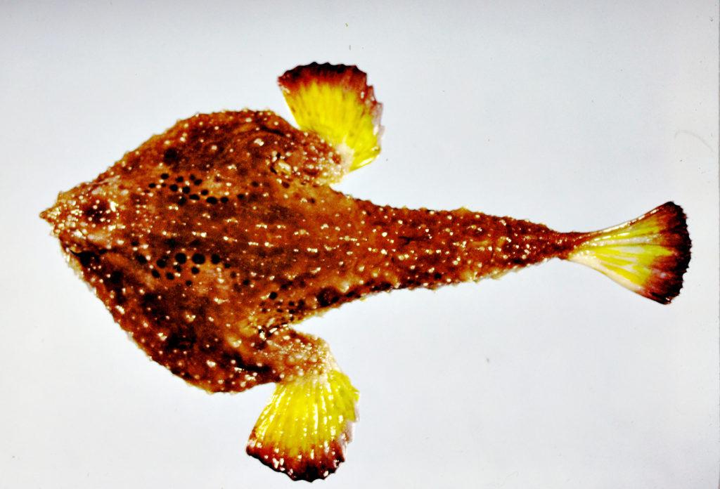 Ogcocephalus rostellum