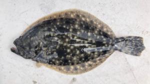 Paralichthys lethostigma