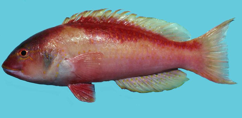 Decodon puellaris