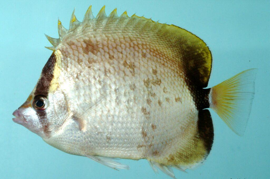 Chaetodon sedentarius