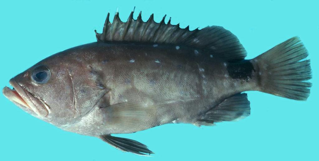 Hyporthodus niveatus