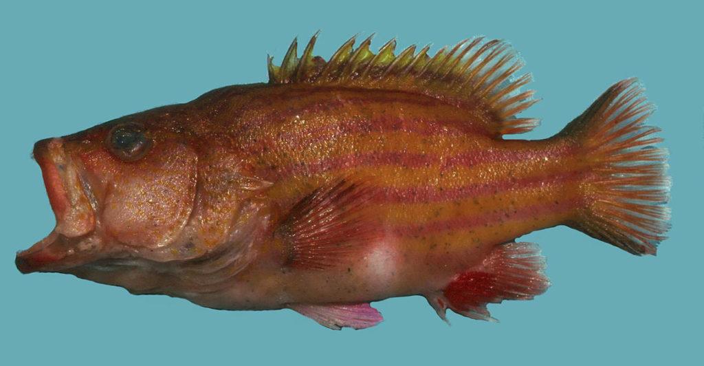 Gonioplectrus hispanus