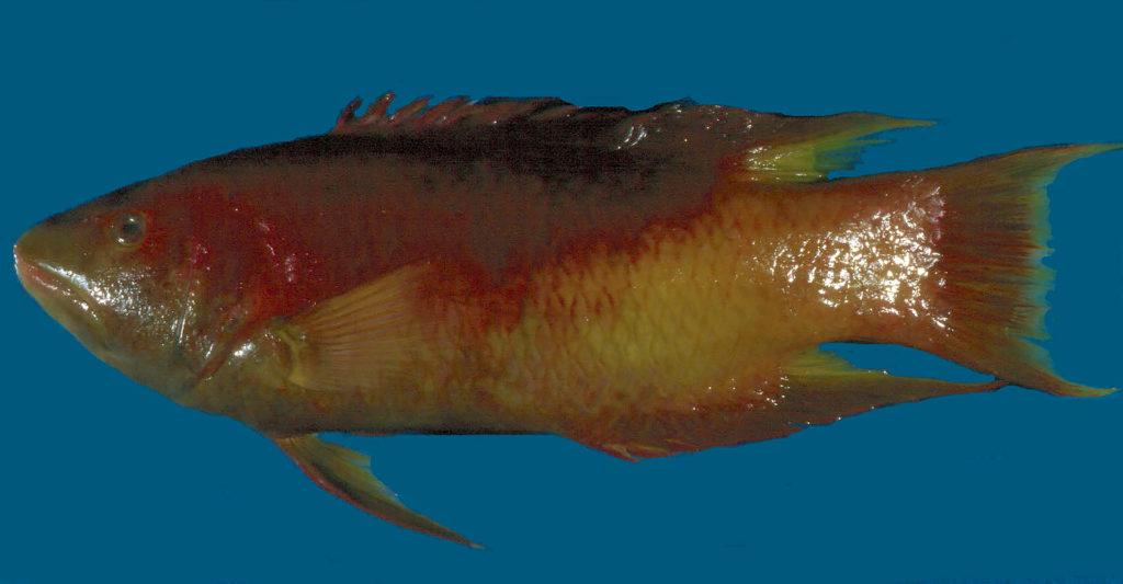 Bodianus rufus