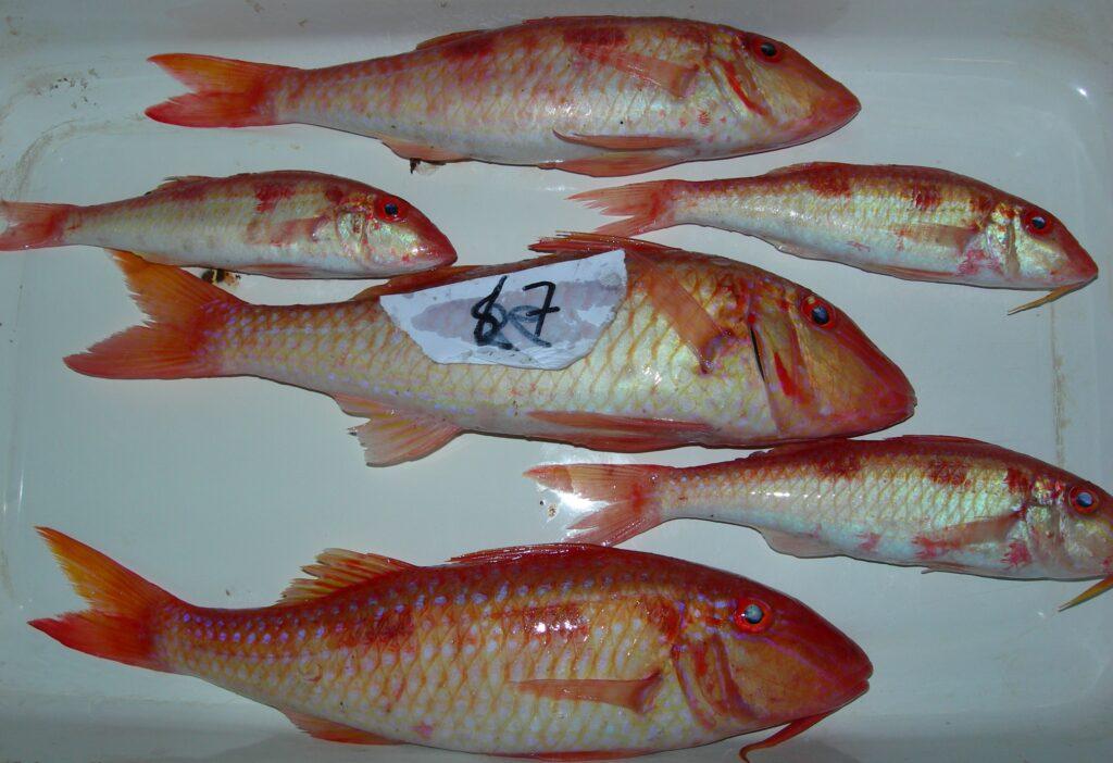Pseudupeneus maculatus