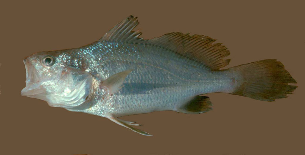Stellifer lanceolatus