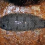 Symphurus plagiusa