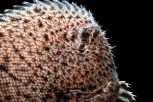 Trinectes maculatus