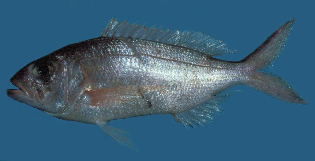 Pristipomoides aquilonaris