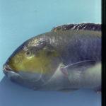 Halichoeres cyanocephalus