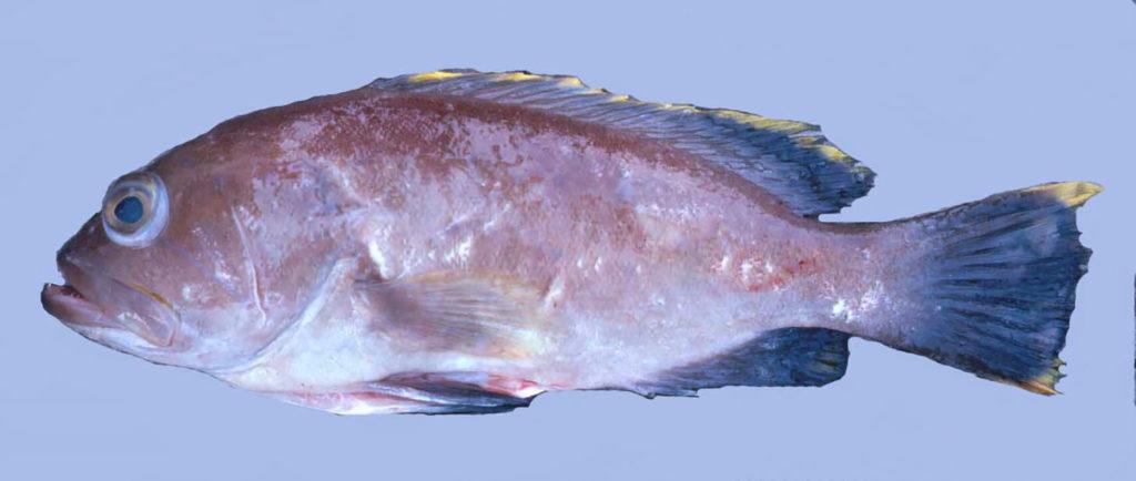 Hyporthodus flavolimbatus