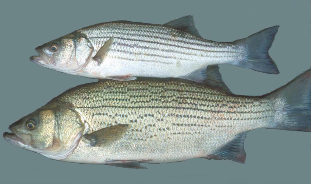 hybrid bass comparison