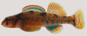 Etheostoma kanawhae