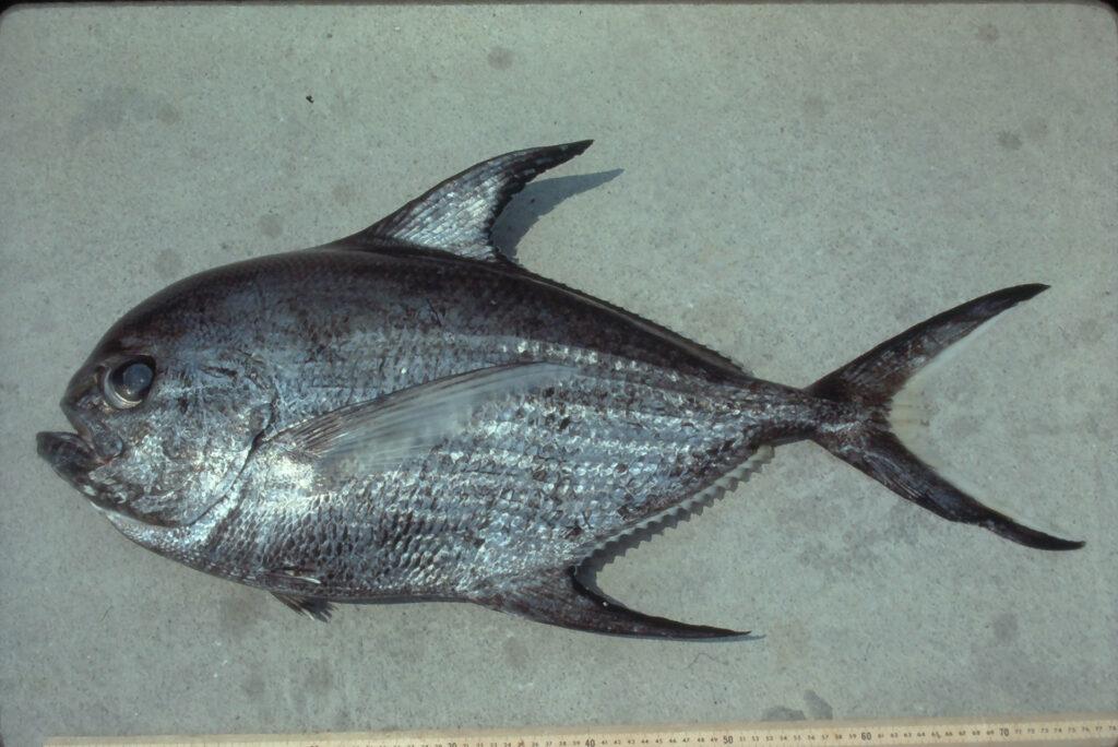 Taratichthys longipinnis