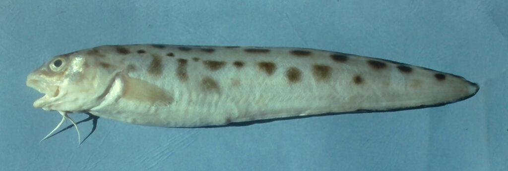 Ophidion grayi