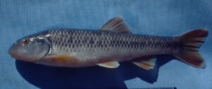 Nocomis leptocephalus interocularis