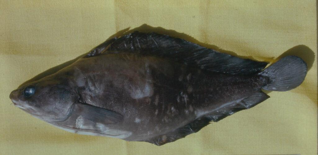 Urophycis earlii