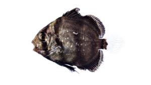 Chaetodipterus faber