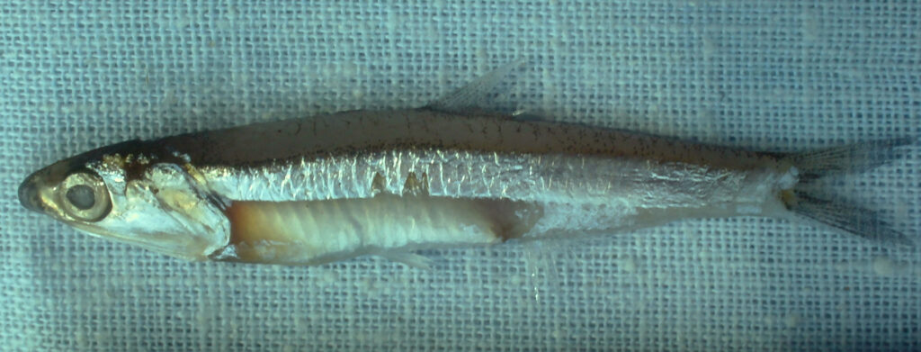 Anchoa lyolepis