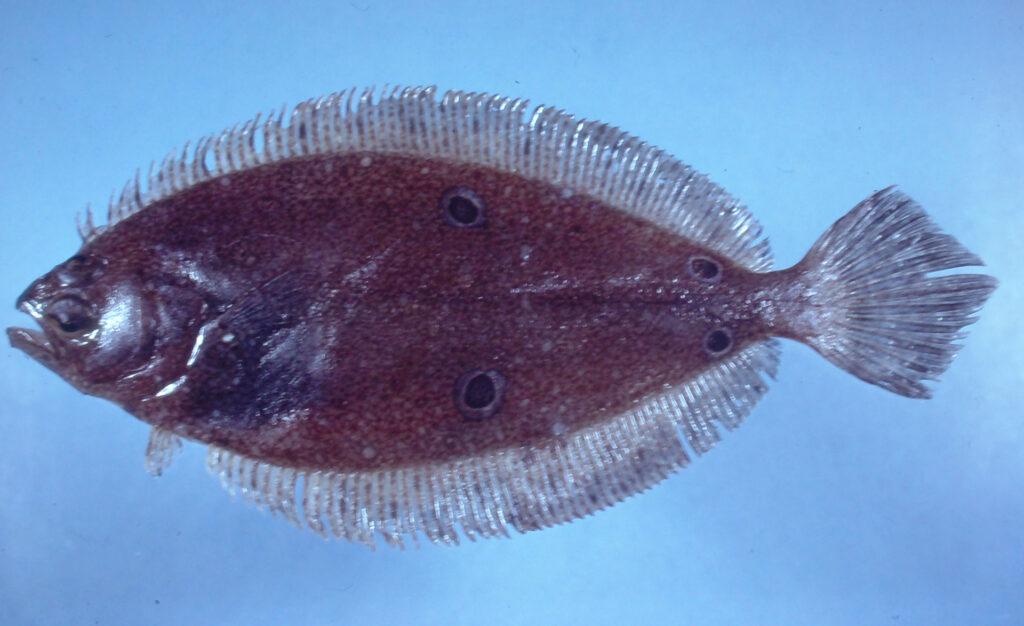 Paralichthys oblongus