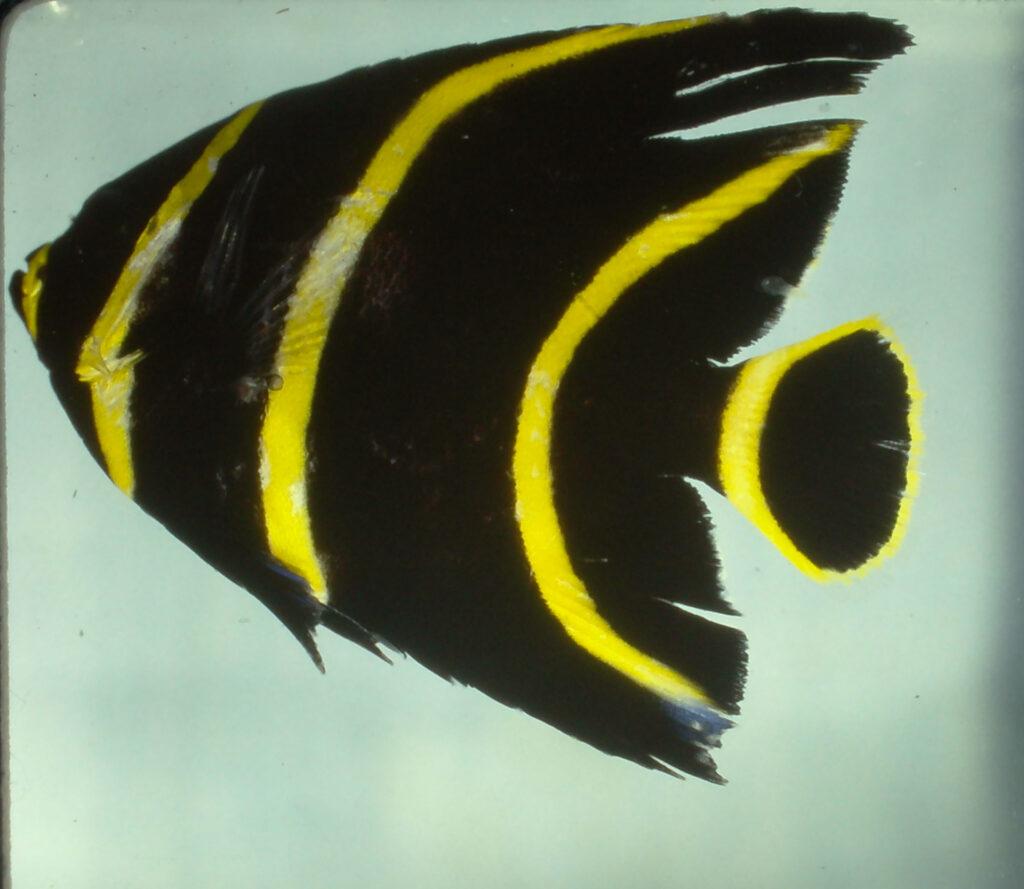 Pomacanthus paru