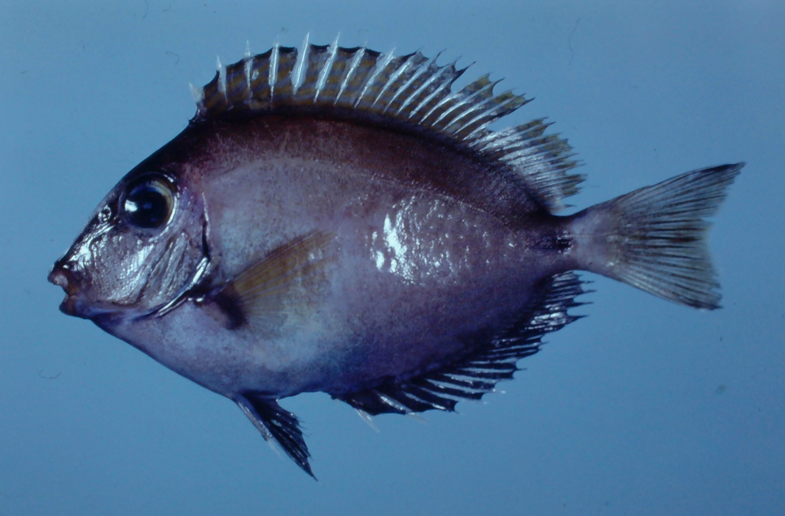 Ocean Surgeon - Acanthurus bahianus