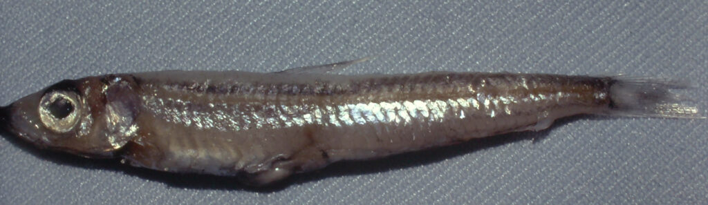 Glossanodon pygmaeus