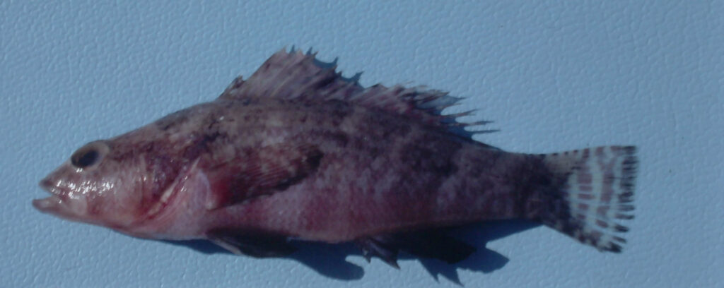 Serraniculus pumilio