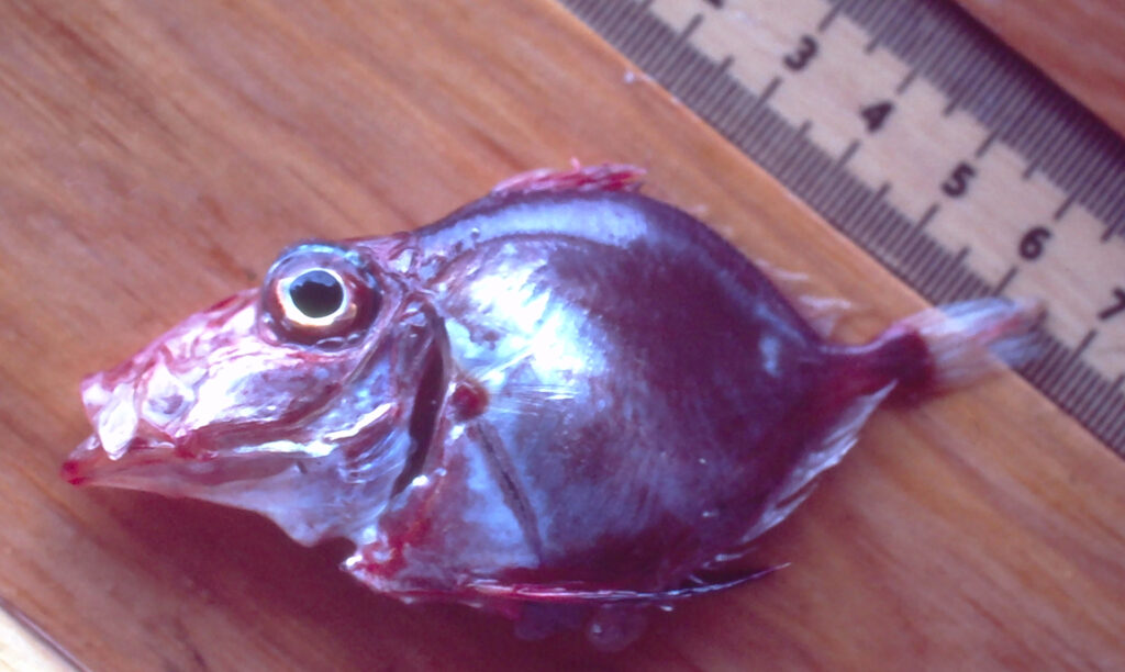 Red Dory - Cyttopsis rosea