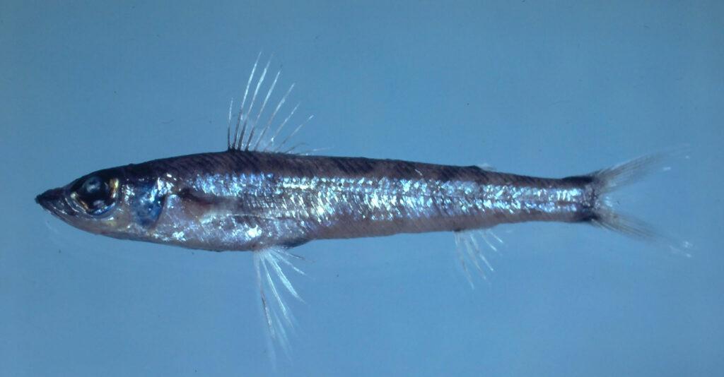 Chlorophthalmus agassizi