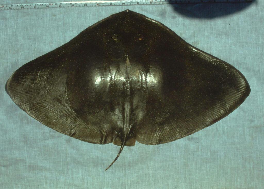Smooth Butterfly Ray - Gymnura micrura