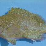 Epinephelus drummondhayi