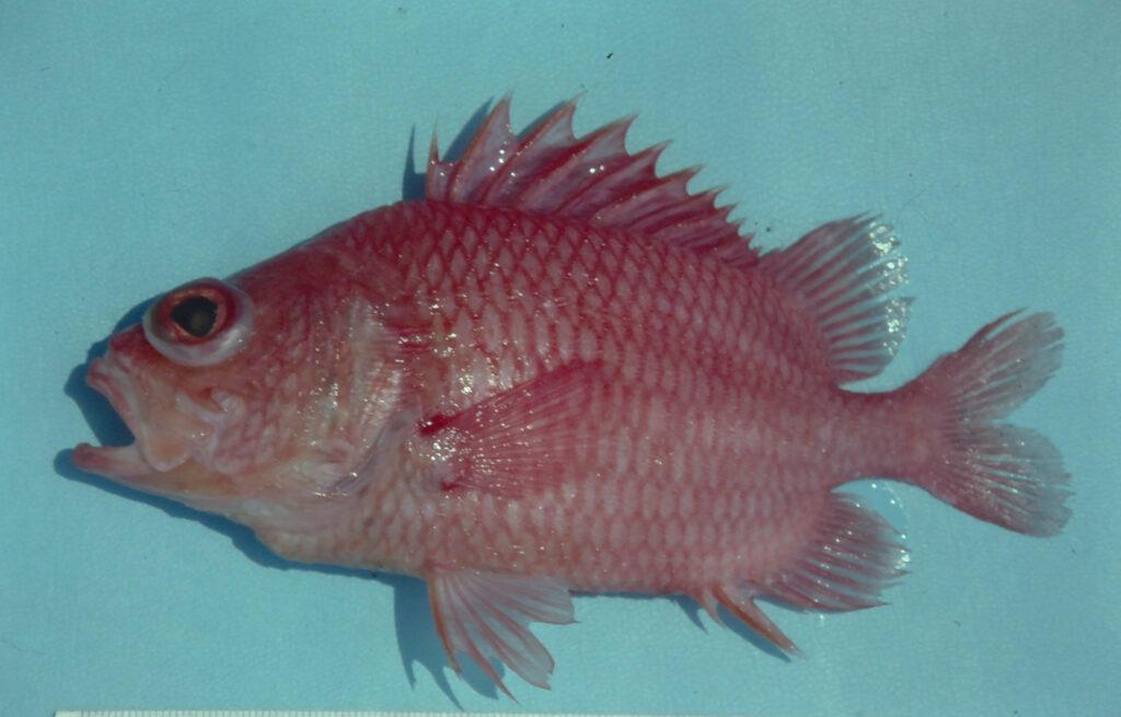 Corniger spinosus