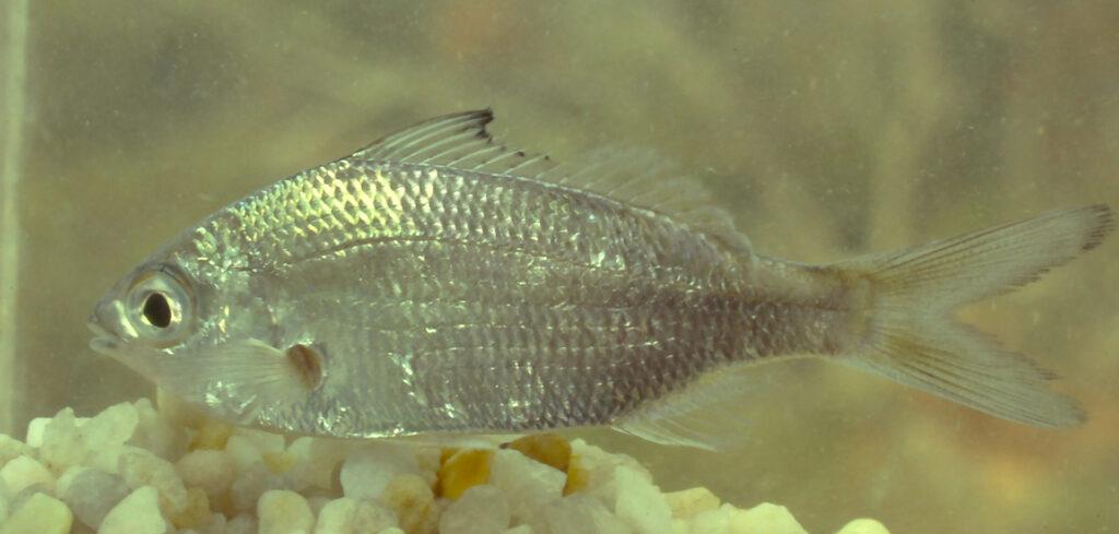 Eucinostomus argenteus