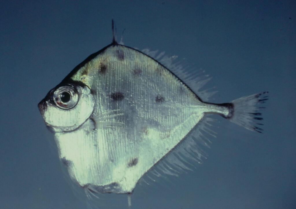 Xenolepidichthys dalgleishi